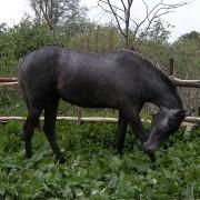 Наталья (кобыла) фото