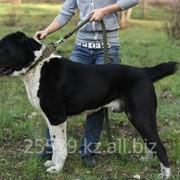 Племенные собаки, Кобели для вязок фото