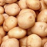 Картофель выращивание фото