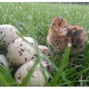 Яйцо перепела фото