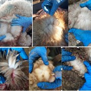 Продаем оптом шкуры мокросоленые овец мериноса  фото