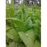 Семена табака - сортотип Вирджиний. фото