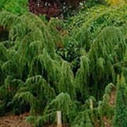 Можжевельник обыкновенный Хорстманн (Juniperus comm. 'Horstmann') фото