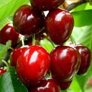 Дюки (вишнево-черешневые гибриды) фото