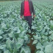 Выращивание капусты брокколи фото