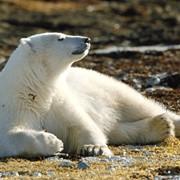 Весенняя охота на полярного медведя в районах территории Нунавут на северо-востоке Канады