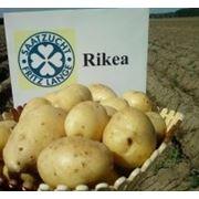 Продается Картофель продовольственный фото