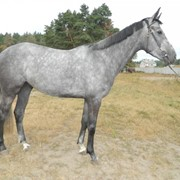 Продажа племенных лошадей фото