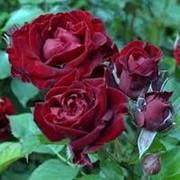 Роза спрей Блек Джек фото