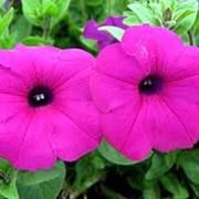 Петуния цветы для рассады оптом фото