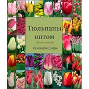 Тюльпаны (срезка) фото