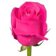 Роза 50-60 см фото