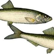 Рыба черноморская мороженая фото