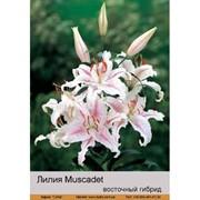 Лилия Восточный гибрид Muscadet фото