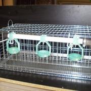 Клетки для перепелов, фото