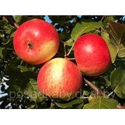 Саженцы яблони фото