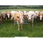 Животноводство. Создание высокопродуктивных племенных стад. фото