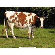 Сельское хозяйство. Животноводство. Животноводство. Искусственное осеменение крупного рогатого скота. фото