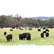 Сельскохозяйственное животноводство фото