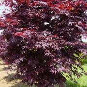 Клены Acer palmatum Bloodgood фото