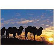Тур «Верхом на верблюде» фото