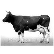 Аудит и консультации на всех уровнях мясомолочного скотоводства фото