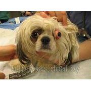 Лечение выпадения глазного яблока у собак и кошек (проптоз) фото