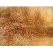 Шкурки лисы и корсока сырье для обработки невыделанное фото