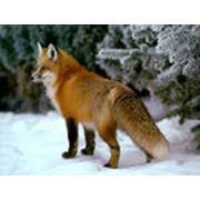 Шкура американской лисицы фото