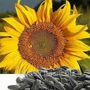Семена подсолнечника Антей фото