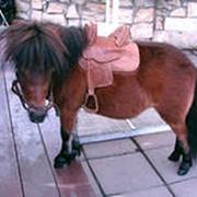 Разведение и продажа миниатюрных лошадей - пони фото