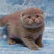 Кошки скоттиш-фолд фото