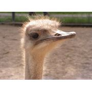 Комбикорм для страусов фото