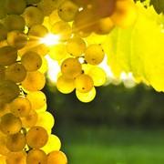 Концентрированный белый виноградный сок фото