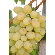 Виноград презентабил фото