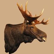 Изготовление трофейных голов животных, охотничьи трофеи фото