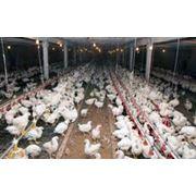 Цыплята подрощенные фото