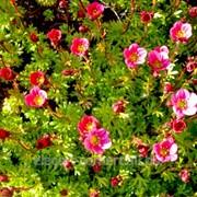 Растения горочные и почвопокровные фото