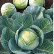 Семена капусты белокочанной фото