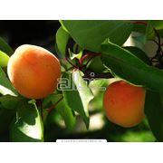 Саженец плодового дерева фото