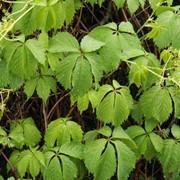 Виноград девичий(Parthenocissus inserta) фото