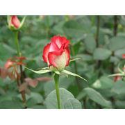 SOLARIG BC AF 150 покрытие для парников и теплиц созданное специально для выращивания Двухцветных Роз фото
