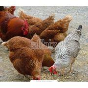 Применение вспученного вермикулита в птицеводстве фото