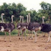 Мясо африканских страусов фото