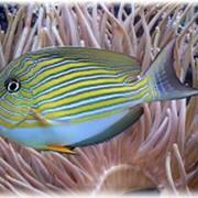 Рыба Хирург полосатый Acanturus lineatus фото