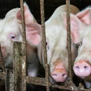 Закупка свиней и КРС фото