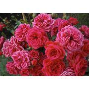 Розы кустарниковые фото