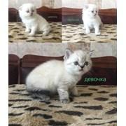 Шотландские котята малышата фото