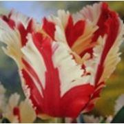 Тюльпаны французские фото