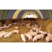 Свиноводство промышленное фото